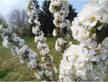 cseresznye-viragzas_1.jpg